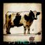 Vache yankee